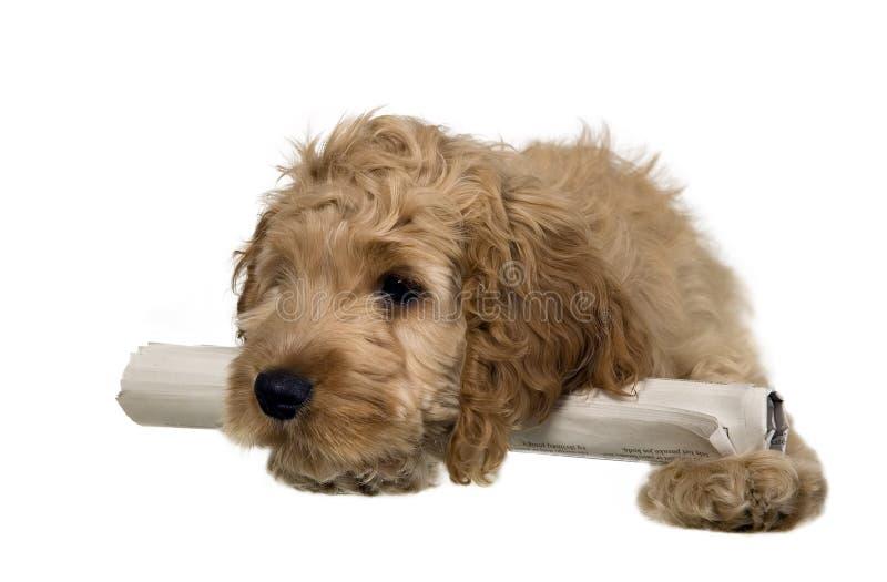 大斗鸡家耳朵西班牙猎狗 免版税库存图片