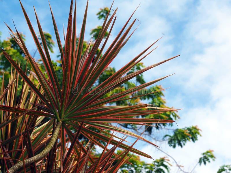 大有天空蔚蓝的桃红色Cordyline极光植物在苏里南南美洲 库存图片