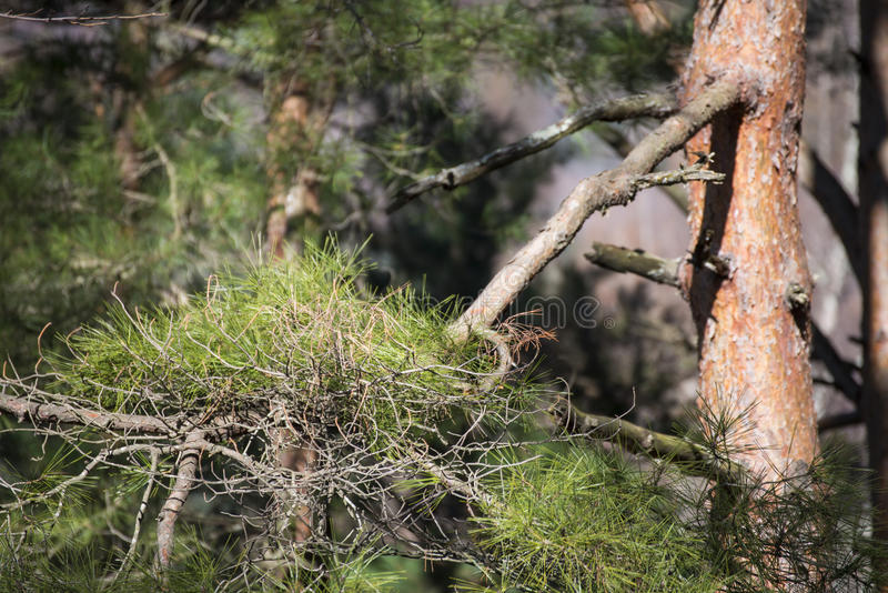 大杉树在森林里 图库摄影