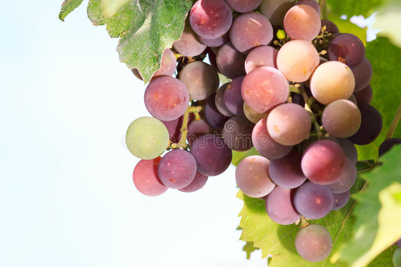 大束红葡萄酒葡萄从藤垂悬,温暖 成熟grap 库存图片