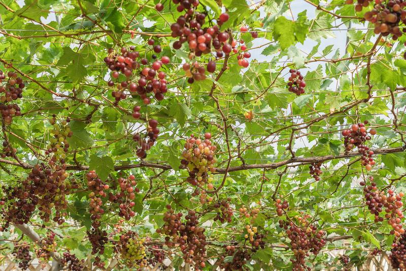 大束红酒葡萄从与绿色叶子的一个藤垂悬 库存照片