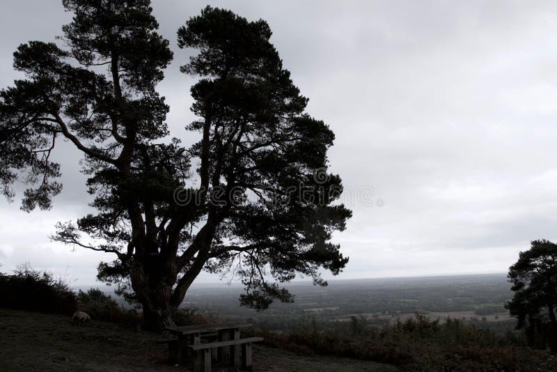 大松树成为不饱和的剪影反对天际的 免版税库存照片