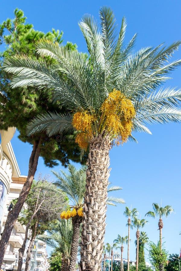 大枣椰子在自然城市环境里 r 免版税库存照片