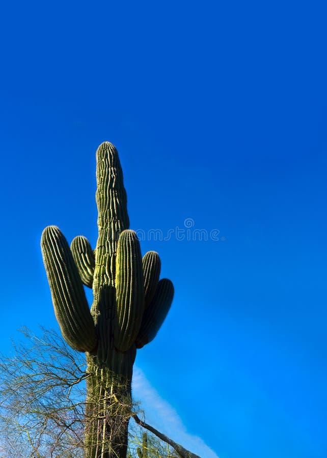 大柱仙人掌仙人掌在亚利桑那垂直的布局地面蛇沙漠  免版税库存照片