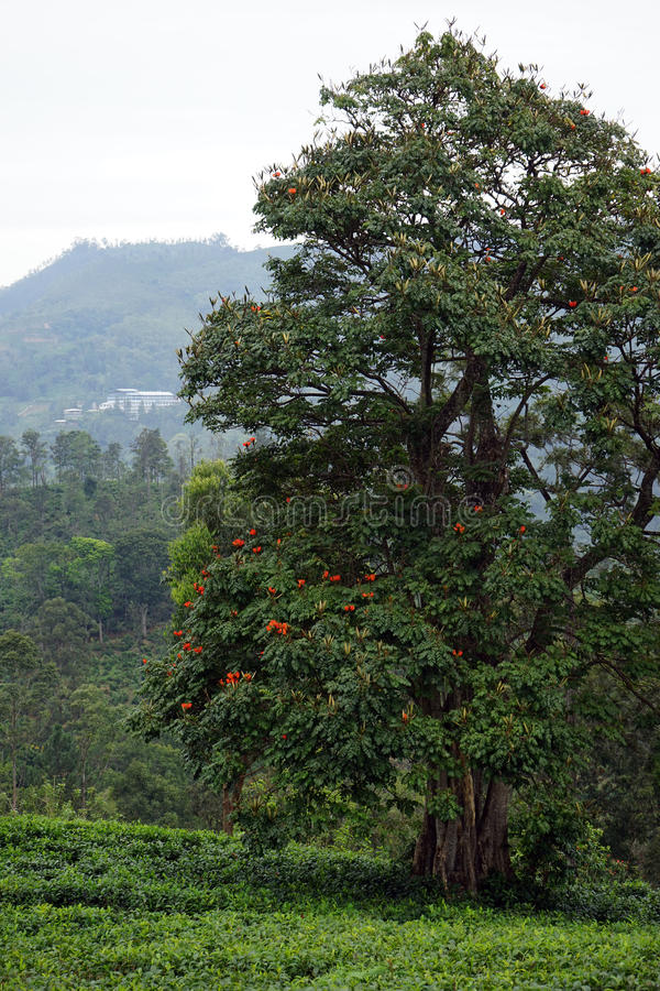 大树和茶 库存图片