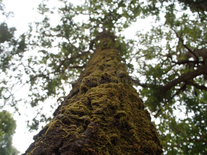 大树在密林,有在树的青苔盖子 从地面的射击在上面 免版税库存图片