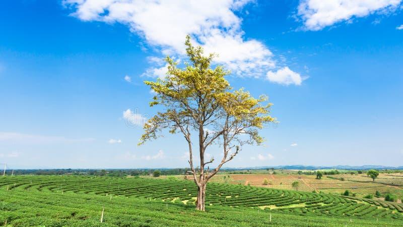 大树在茶园 免版税库存照片