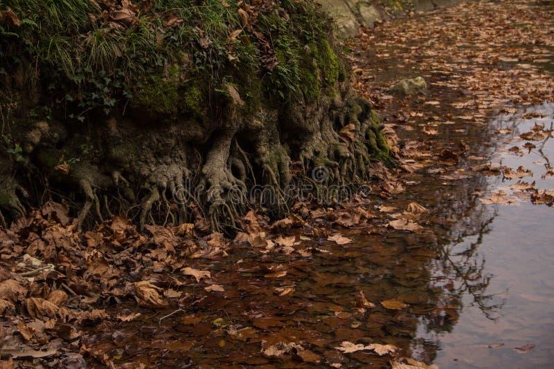 大树根源入湖 图库摄影