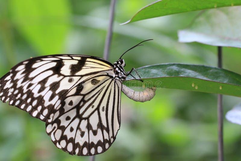 大树若虫蝴蝶和鸡蛋 免版税库存照片