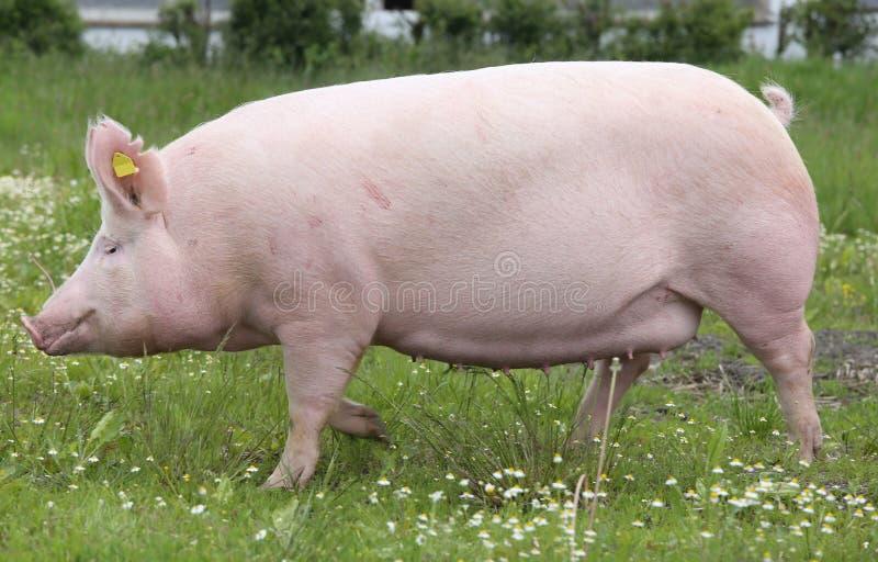 大桃红色摆在为照相机的色的母猪.图片