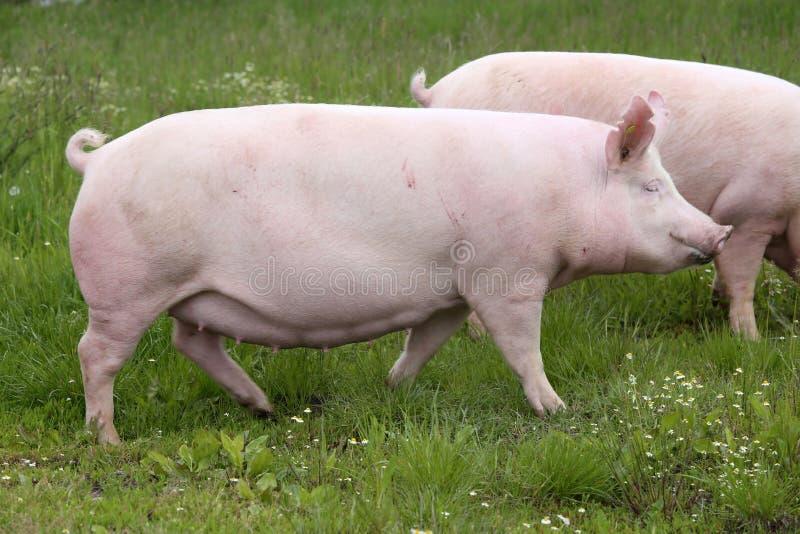 桃红色侧视图照片上色了在草甸的幼小母猪图片