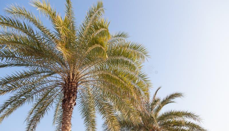 大棕榈树 库存图片