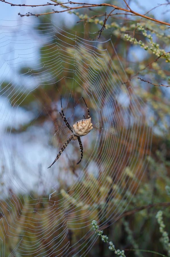 大母蜘蛛Argiope洛巴塔在它的网的中心 射击从新 r 垂直的图象选择 免版税库存照片