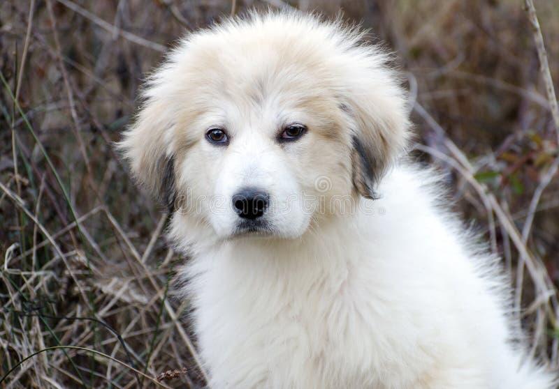 大比利牛斯小狗 免版税库存照片