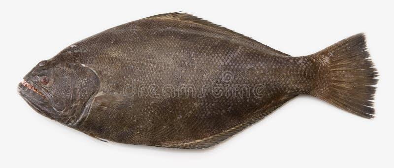 大比目鱼太平洋 免版税库存图片
