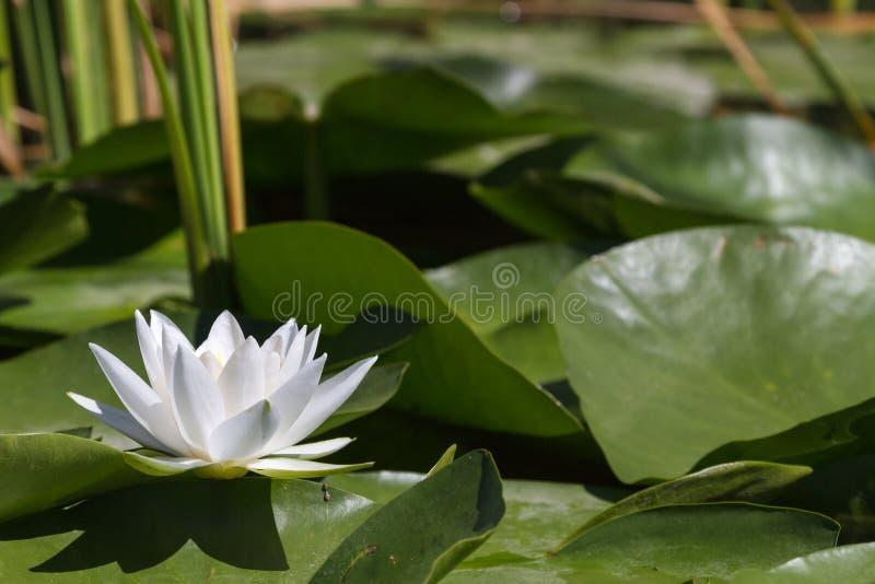 大浪端的白色泡沫百合 白色奇迹 伏尔加河三角洲 免版税库存照片