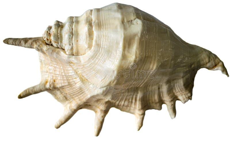 大海扇壳 : 库存照片
