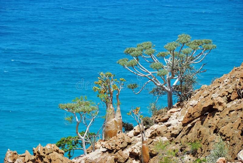 大海背景的索科特拉岛地方性植物  免版税库存图片