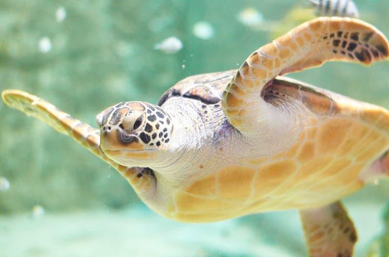 大海龟游泳在水族馆水中 免版税库存照片