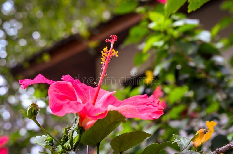 大深桃红色的木槿花开花宏指令射击 库存图片