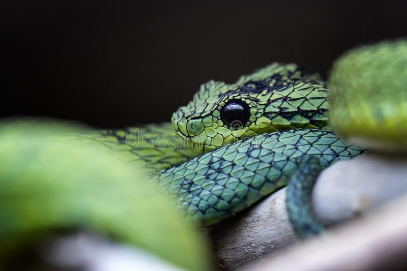 大湖灌木蛇蝎Atheris nitschei被扭转分支 免版税库存照片
