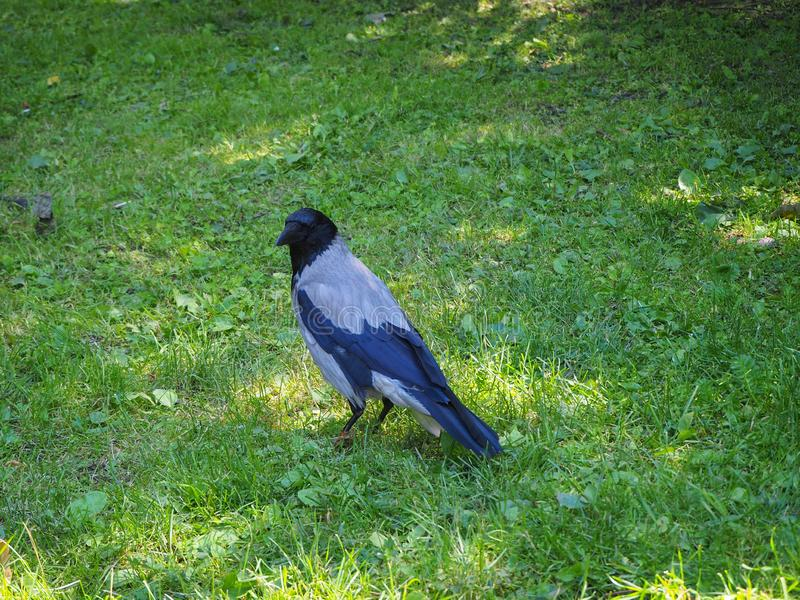 大灰色乌鸦身分画象在轻的绿草的在阳光下 库存照片