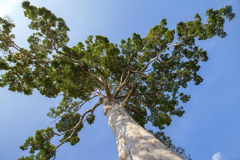 大热带树有天空背景,看法从下面 科学名字Dipterocarpus alatus或杨娜亚伊树 泰国 免版税图库摄影