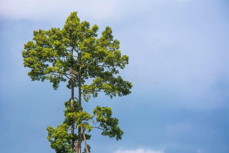 大热带树有天空背景 科学名字Dipterocarpus alatus树 免版税库存图片