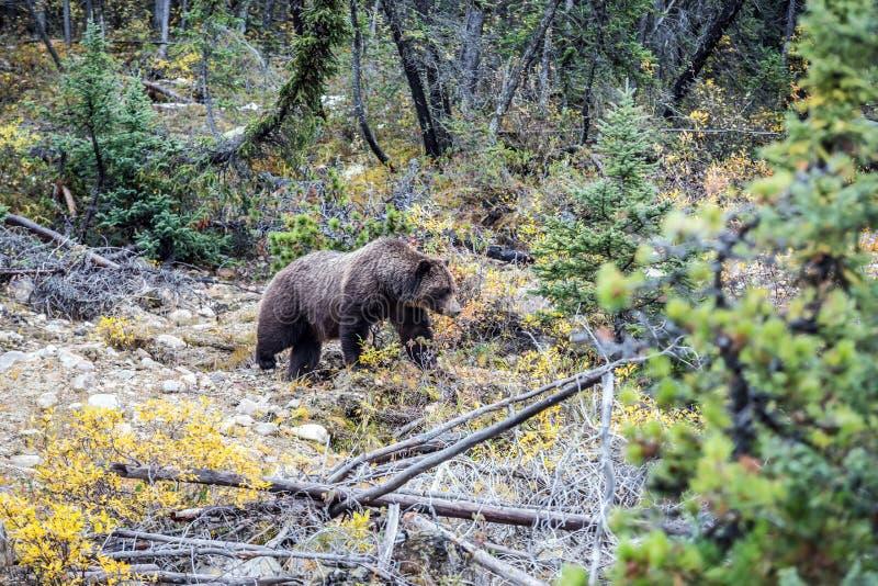 大熊在秋天森林里 免版税库存图片