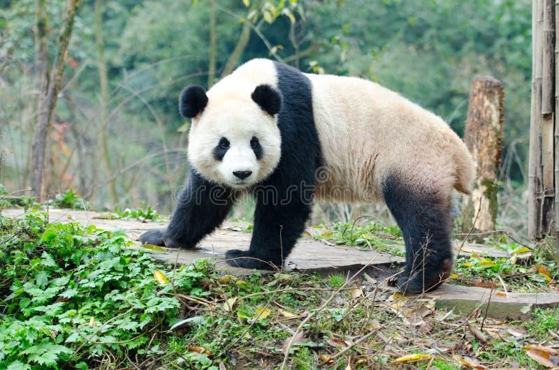 大熊猫神色摆在,成都, Szechuan,中国 库存图片