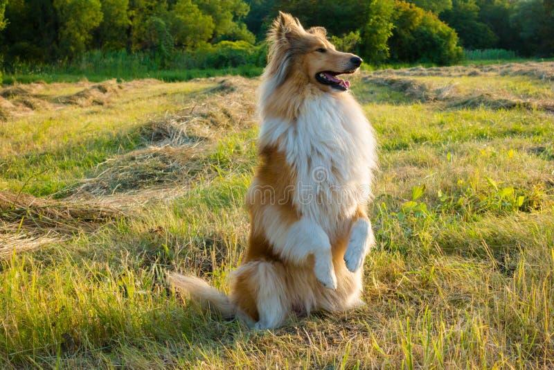 大牧羊犬在绿色领域的狗训练在阳光 库存照片