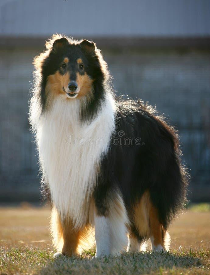 大牧羊犬狗宠物 免版税库存图片