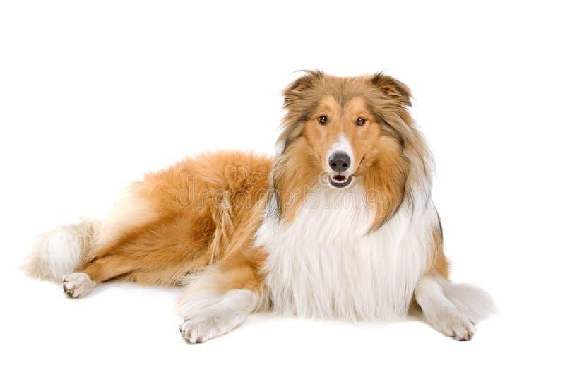 大牧羊犬粗砺的苏格兰牧羊人 图库摄影