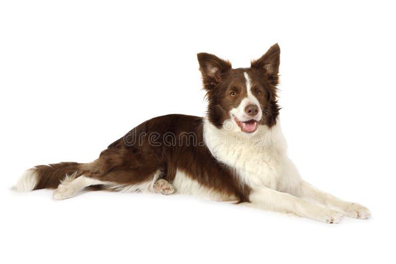 大牧羊犬说谎在白色背景前面的边界狗 图库摄影