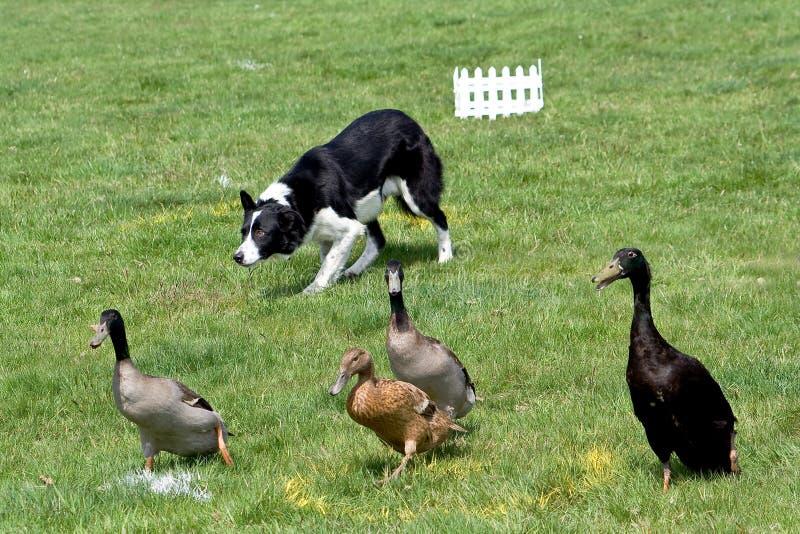 大牧羊犬鸭子工作 免版税库存图片