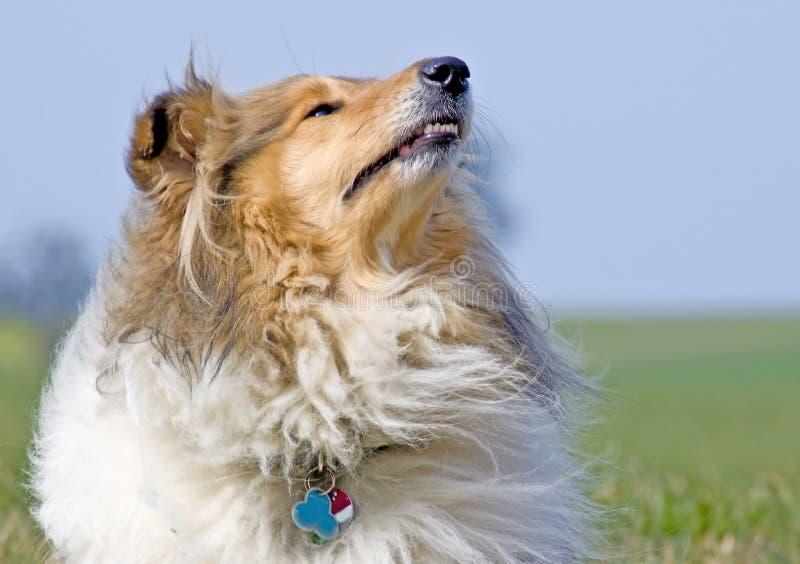 大牧羊犬 免版税库存照片