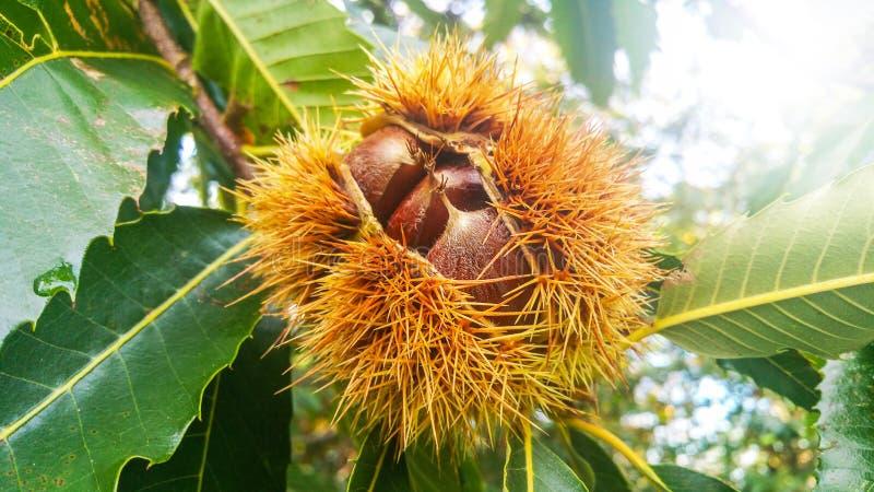 大狂放的栗子在生长在树的被打开的尖刻的壳的一顿早午餐关闭  库存照片
