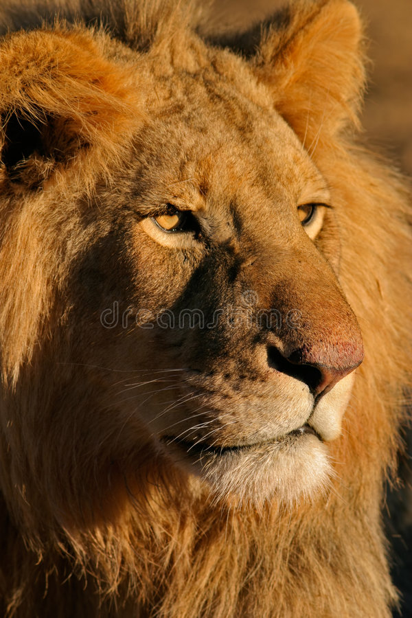 大狮子男 库存照片