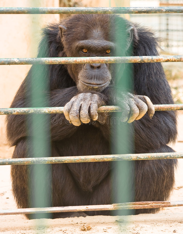 大猩猩动物园 库存照片