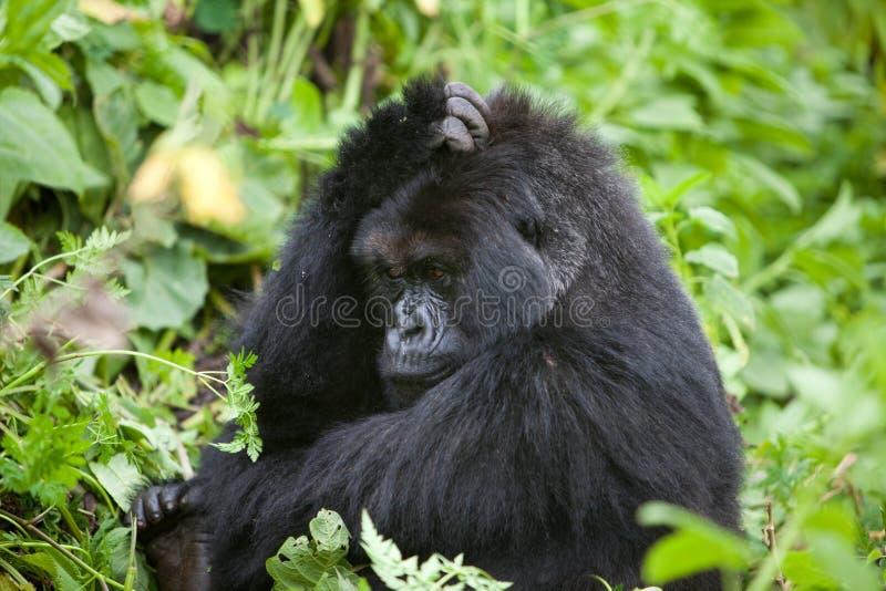 大猩猩卢旺达 库存照片