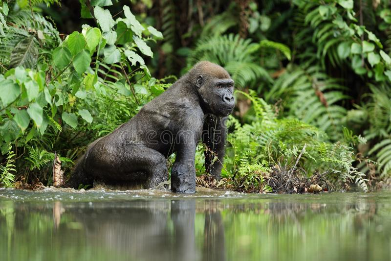 大猩猩在加蓬,低地大猩猩 免版税库存照片