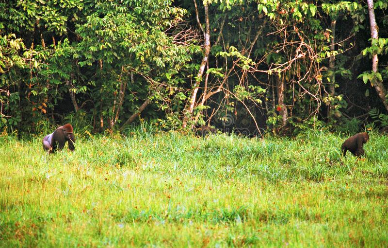 大猩猩在密林在刚果 库存图片