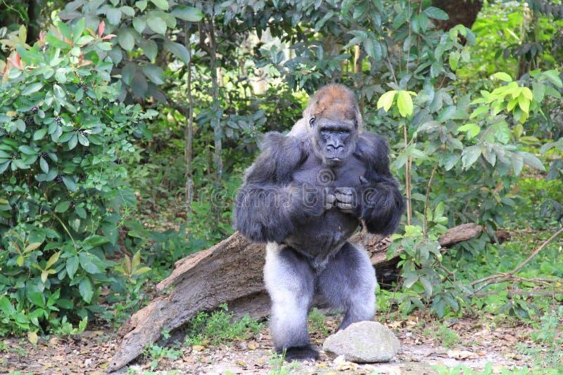 大猩猩在密林 库存照片