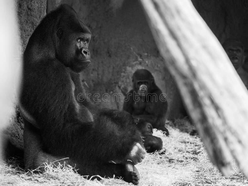 大猩猩在看照相机的动物园里 免版税库存图片