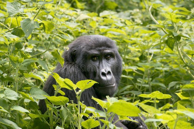 大猩猩在雨林里-密林-乌干达 免版税库存照片