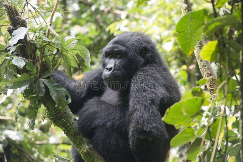 大猩猩在非洲的雨林里 库存照片