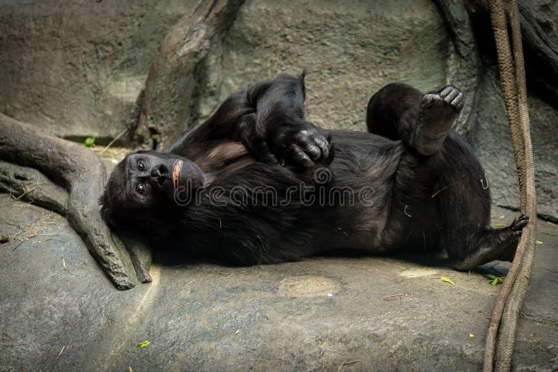大猩猩在Brookfield动物园的猿房子里 免版税库存照片