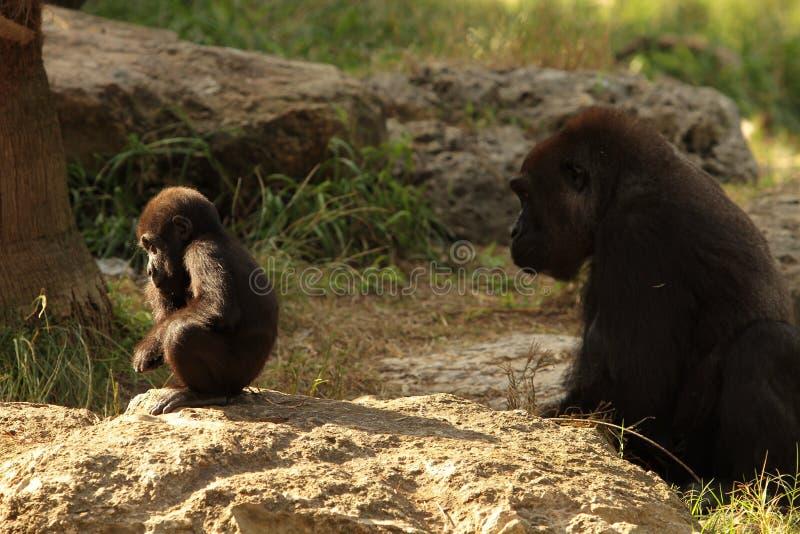 大猩猩孩子在凝思坐作为他的母亲在大草原的日落 图库摄影