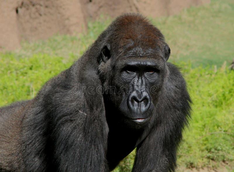 大猩猩男 库存照片