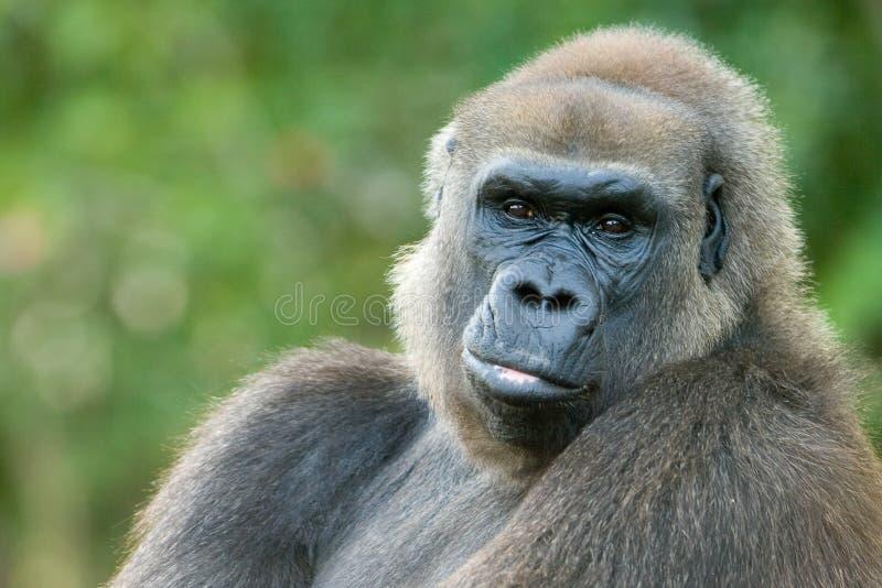 大猩猩的特写镜头 库存照片